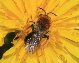 Andrena haemorrhoa 16113