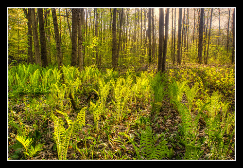 Ferns on the Forest Floor by UpstateNYPhototaker