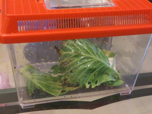 雨味抓的菜蟲