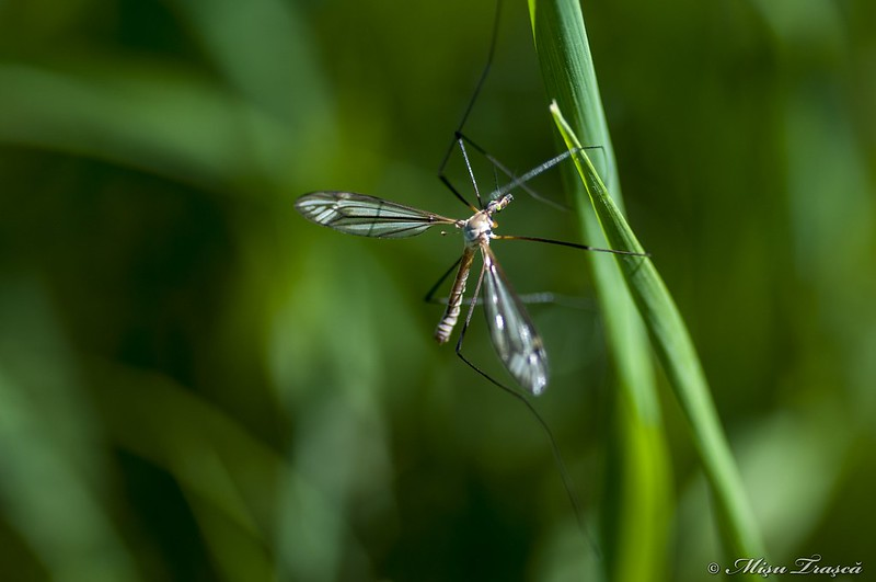 țânțar / mosquito