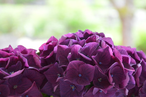 Hortensie by Ginas Pics