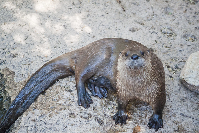 wet river otter lying on rocks, looking at the camera. It has large black webbed feet.
