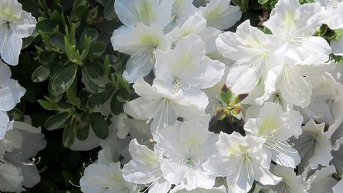 Azalea bush blossoms by Coyoty