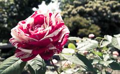 Rosa 'Wekplapep'