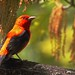 <p>Scarlet Tanager, Male<br /> Brooklyn NYC<br /> <br /> This was my favorite picture from the fallout last Friday.  Despite the abundance of warblers it`s just as rare I spot tanagers and I was hoping to get a decent shot of one of them.  The first 3 times I saw one, it was fleeting, as they were quickly on the move.  Later I came across this individual who was hunting flying termites along with a mess of warblers.  For their bigger size the Tanagers are surprisingly agile.  This bird was high in the canopy and in the shade for much of the show, and this was the only perch I was able to get shots with decent lighting in them.  I love the lighting in the eye here!</p>