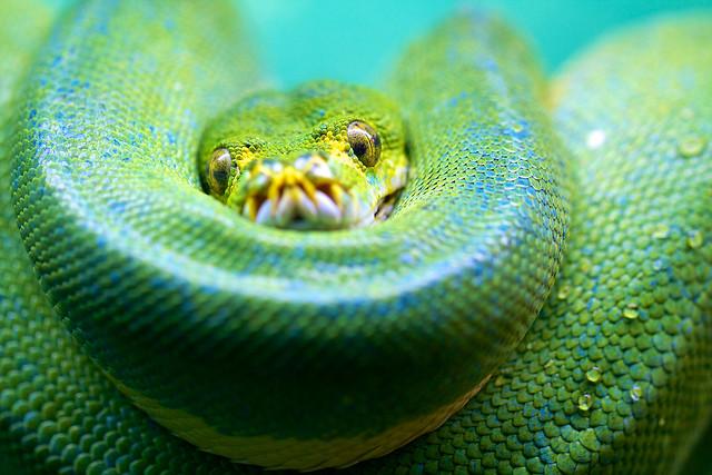 Macro Green Tree Python