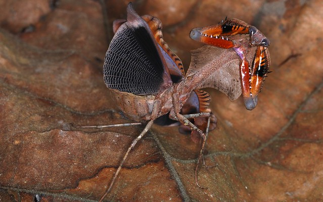 Malaysian Dead Leaf Mantis (Deroplatys lobata) threat display