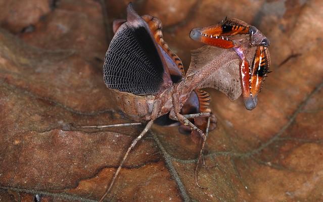 Malaysian Dead Leaf Mantis (Deroplatys lobata) threat display
