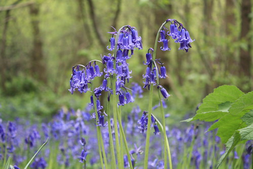 Bluebells at Lesnes Abbey Woods