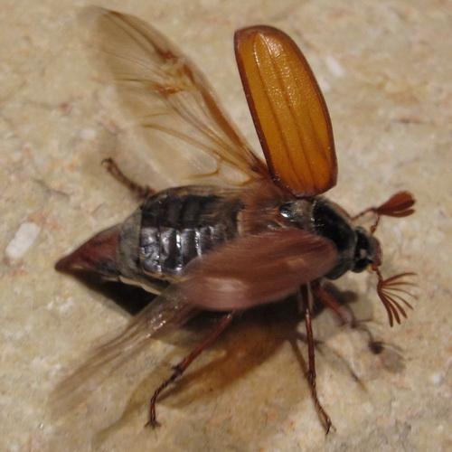 Melolontha melolontha - Hanneton - Maikäfer - May bug