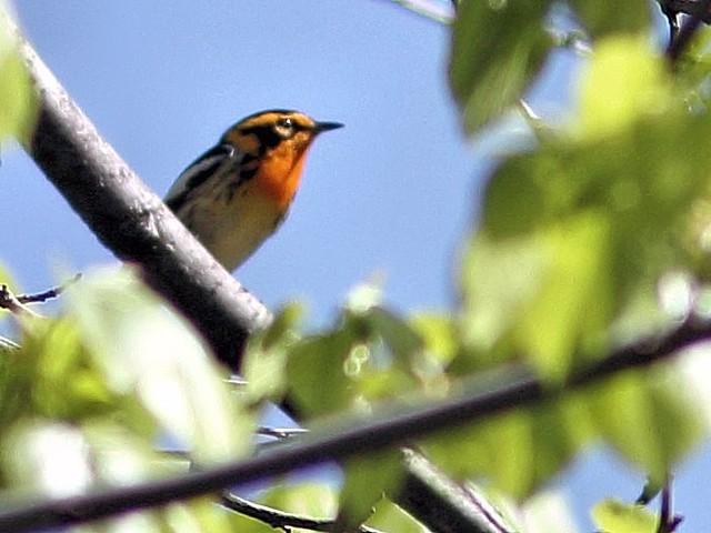 Blackburnian Warbler COREL 20130514