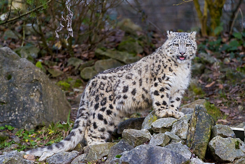 Cute Mohan posing on the rocks by Tambako the Jaguar