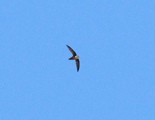 Chaetura Swift. Rio Grande Nature Center, Bernalillo Co., NM. 05/12/2013