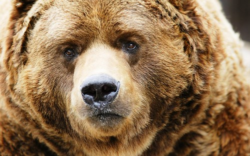 bear-close-up-hd-wide-wallpaper