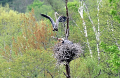 Heron Bringing a Stick to the Nest