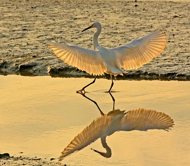 Garça-branca (Egretta garzetta ) Little Egret