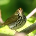 <p>Ovenbird<br /> Brooklyn<br /> New York<br /> <br /> My first.  Couldn`t coax the little guy out from the brush though.<br /> <br /> Does anybody know why they are called ovenbirds?</p>