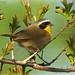 <p>Common Yellowthroat<br /> Brooklyn<br /> New York<br /> <br /> <br /> <br /> Finally got one of these out of the shade, but into a mess of leaves.</p>