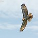 <p>Red Tailed Hawk, Juvenile<br /> Brooklyn<br /> New York<br /> <br /> There was a mess of juvies flying around yesterday.  At first I noticed one attacking another, but when all was said and done, 4 were circling aloft over Brooklyn together.</p>
