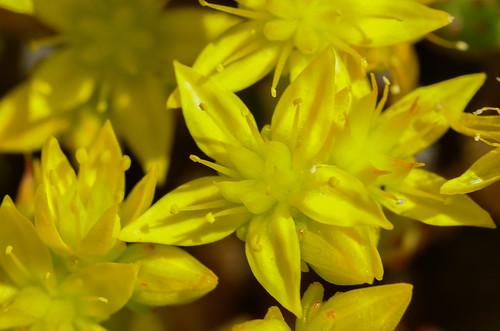 <p><i>Sedum acre</i>, Crassulaceae<br /> Lighthouse Park, West Vancouver, British Columbia, Canada<br /> Nikon D5100, 105 mm f/2.8<br /> July 6, 2012</p>