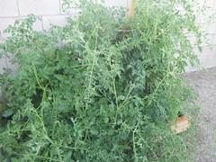 flower(0.0), produce(0.0), food(0.0), annual plant(1.0), shrub(1.0), southernwood(1.0), tree(1.0), plant(1.0), subshrub(1.0), herb(1.0),