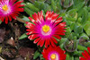 10 mai 2013 - Delosperma 'Jewel of Desert Garnet' by Mafate79