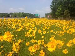 sunflower(0.0), prairie(1.0), flower(1.0), field(1.0), yellow(1.0), plain(1.0), plant(1.0), wildflower(1.0), produce(1.0), sulfur cosmos(1.0), meadow(1.0), grassland(1.0),