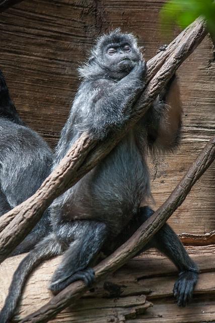 Silvered leaf monkey, Bronx Zoo