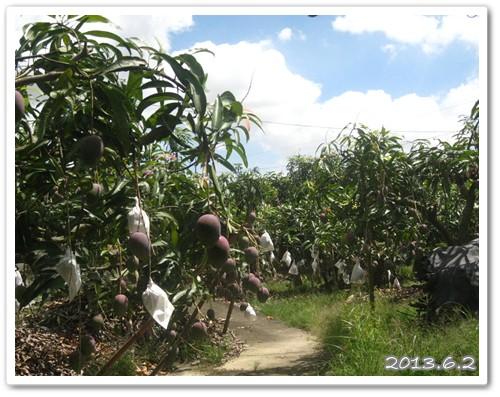 130602-故鄉的芒果季