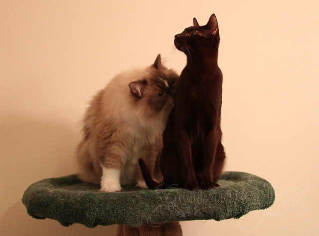 Tyco & Ellie on a Cat Tree