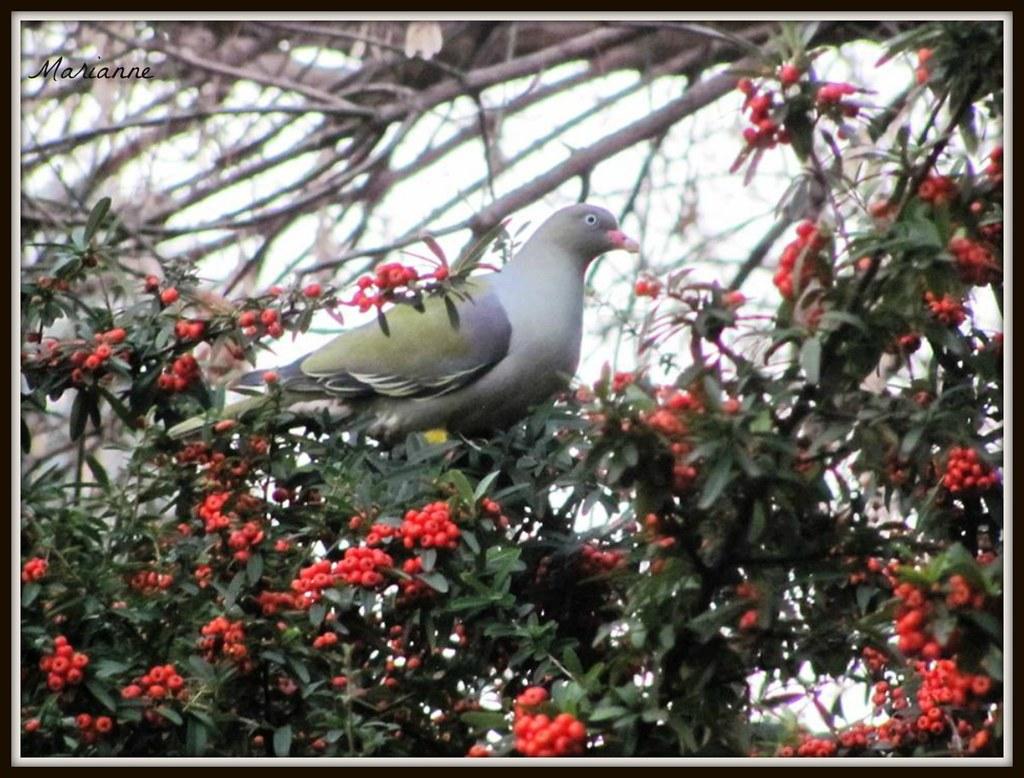 GREEN - African Green Pigeon