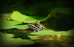 Southern Leopard Frog   [explored]