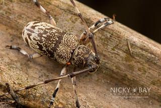 Longhorn Beetle (Anancylus griseatus) - DSC_1457