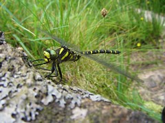 Some Dragonfly on Isle of Arran