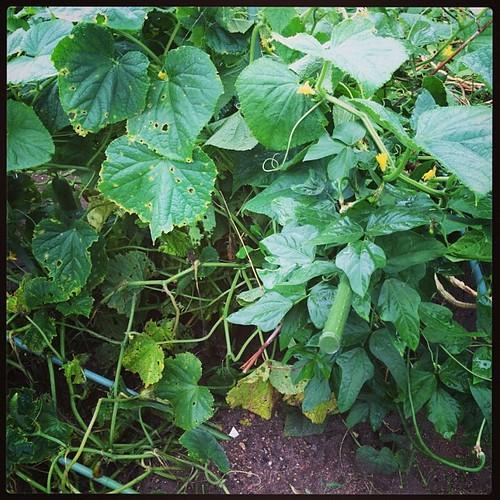 胡瓜千切ってこいって言われたから畑にきたら、雨の所為で胡瓜と三尺豆がぶっ倒れてた...