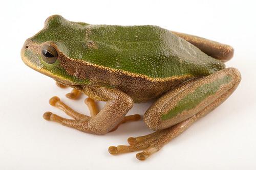 <i>Gastrotheca plumbea</i> Rana marsupial plomiza ♂