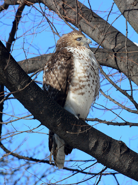 Riverside Red-Tail - 5150