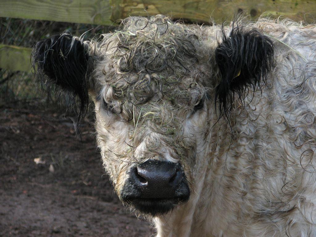 Galloway-Rind im Neunkircher Zoo