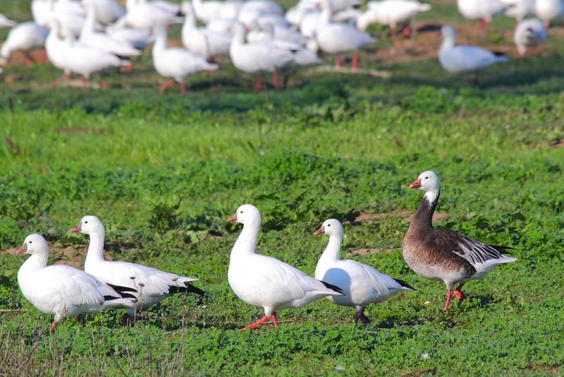IMG_3811 Blue Morph Ross's Goose