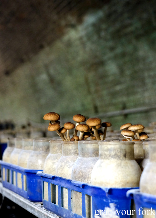 Chestnut mushrooms in the Li-Sun Exotic Mushrooms railway tunnel, Mittagong