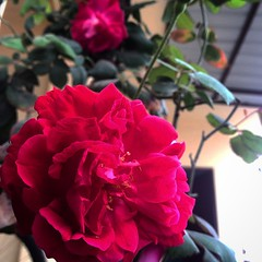 Array of #Red #Roses #blossomed for #spring #season. Tempting for #ladybirds and #bees. :rose::rose::rose: