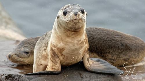Seal Pup 0843-15