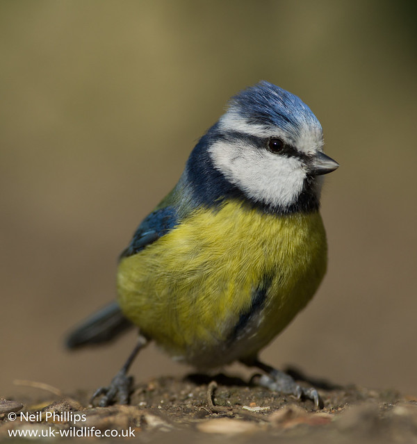 blue tits-3