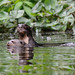 Amazon Giant Otters by Odonata457
