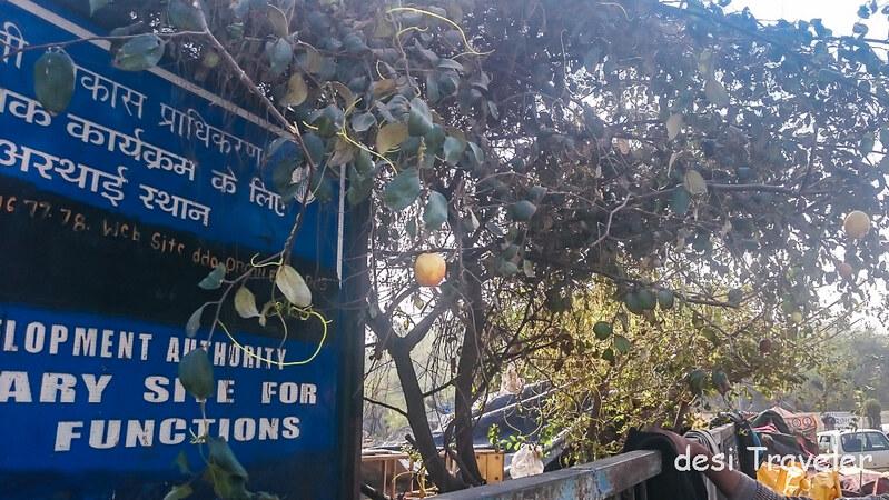 Ziziphus mauritiana tree with fruits