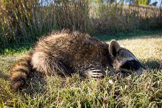 Raccoon No More