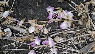 Fallen flowers.