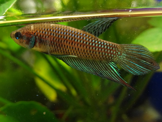 Article of the Month MARCH 2015 : Betta mahachaiensis 16573508530_25ee5024b9_z