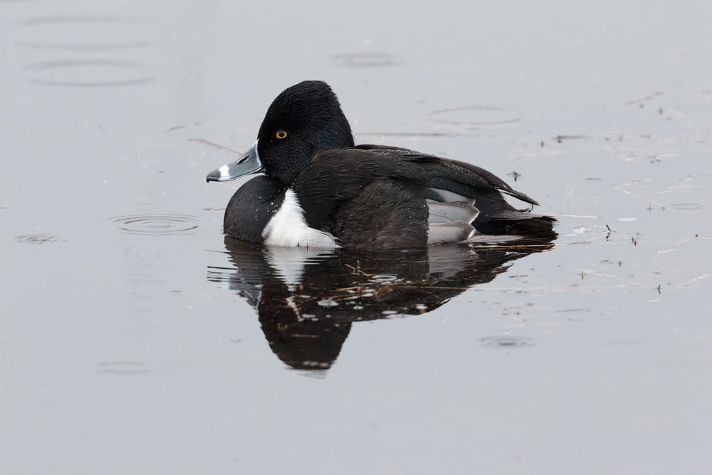 A male ring-necked duck relaxes as raindrops create ripples in the water