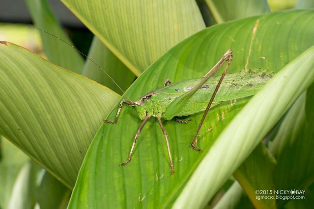 Katydid (Tettigoniidae) - DSC_3125
